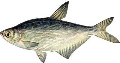 прикормка хищных рыб
